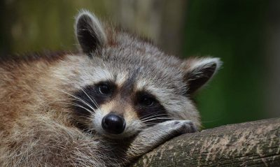 racoon looking at camera