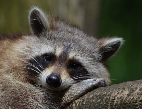How to Keep Raccoons Away from Your Home