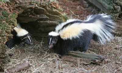 two skunk near log