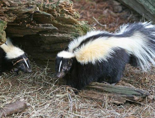 How to Keep Skunks Away from Your Home