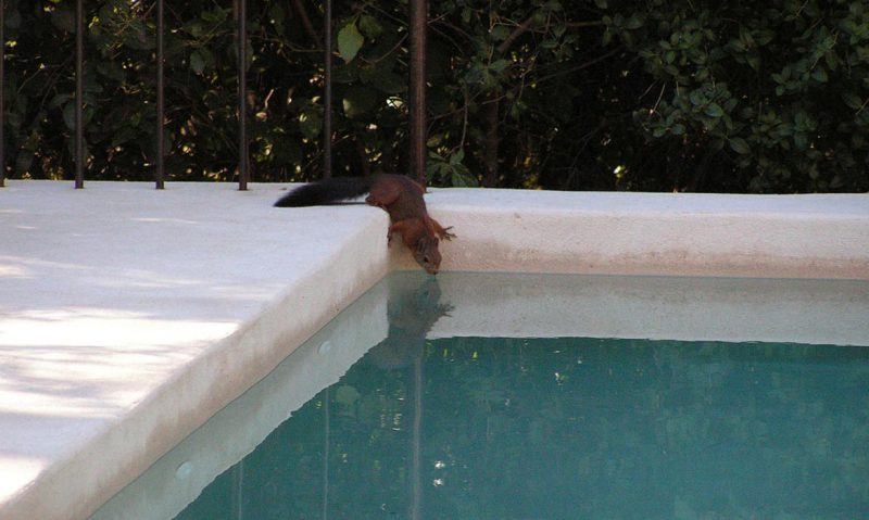 squirrel getting a drink out of a pool