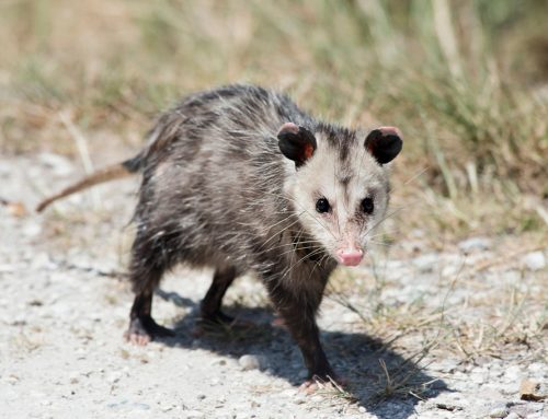 How to Safely and Effectively Remove Opossums from Your Property