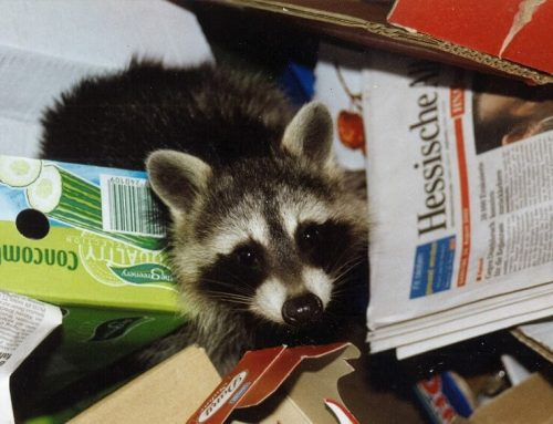 Worried About Raccoon Rabies in Ontario? Here's What You Should Know