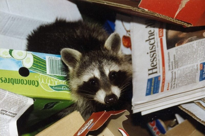 raccoon in garbage