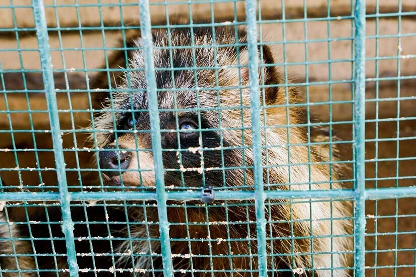 Racoon in cage