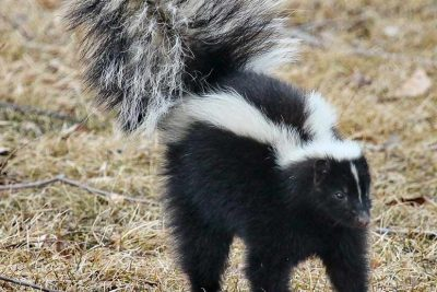 Skunk spraying