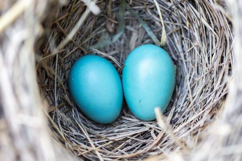 starling eggs