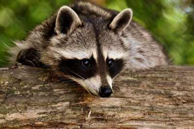 Raccoon with Rabies