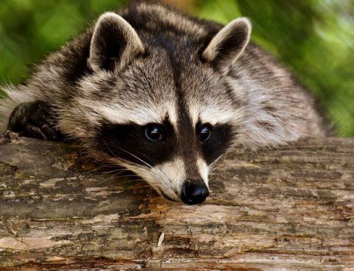 4 Steps to Follow if You See a Rabid Raccoon