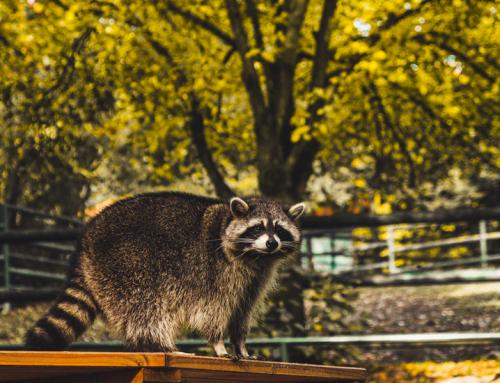 The Dangers of Raccoon Poop