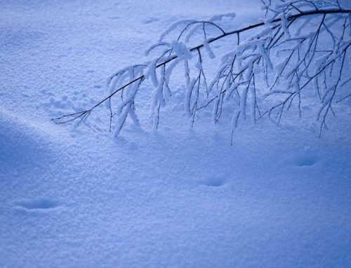 Can You Identify These Tracks in the Snow?