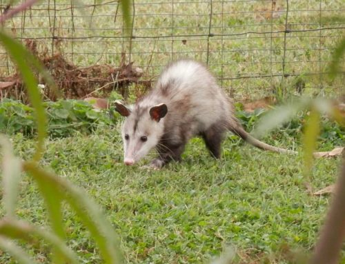 Are Possums Dangerous Animals?