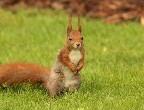 Help! I Have a Squirrel in My Attic – What Do I Do?